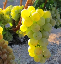 Summer-2012-grapes